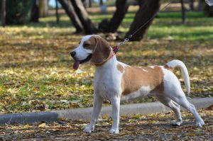 Chien beagle adulte robe bicolore : marron et blanc