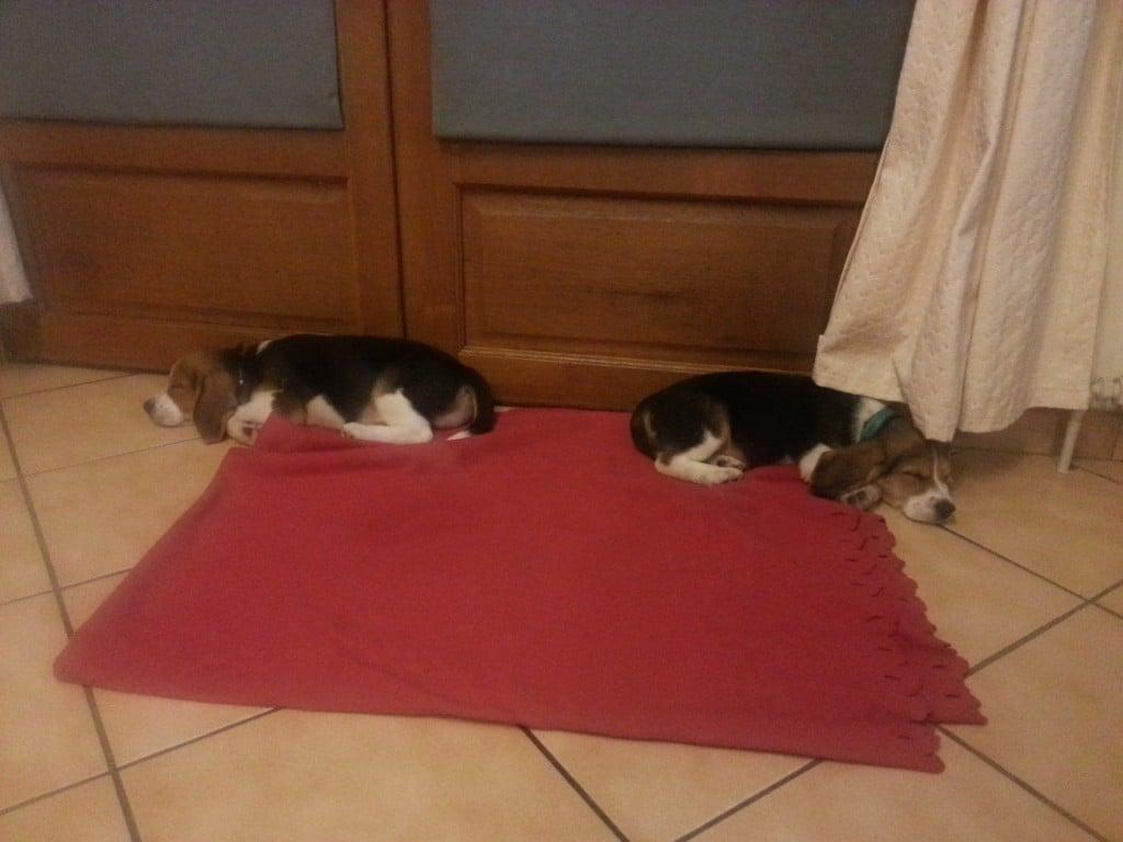 Freres Beagle : Moody et Rosco