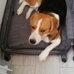 Notre beagle dans notre valise 1