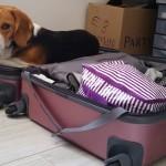 Notre beagle dans notre valise 2
