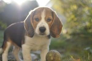 """Beagle chiot """"Moody"""" avec sa balle"""