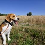 Beagle en promenade dans les champs