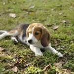 Bebe chiot beagle couché