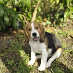 Bebe chiot beagle assis