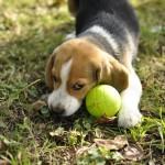 Bébé Beagle Moody roule sa balle