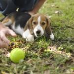 Bébé Beagle Moody avec sa balle