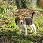 Bebe chiot beagle debout