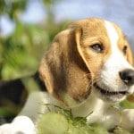 Bébé Beagle Moody au soleil