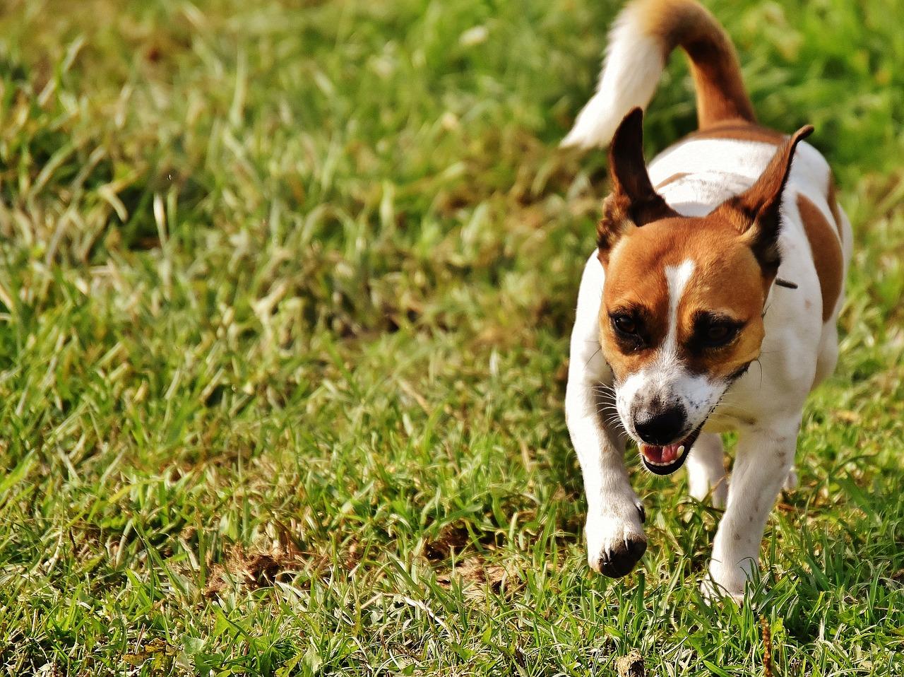 Jack Russel Terrier : Tout Découvrir Sur Ce Chien