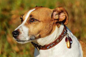 Petit chien jack russel