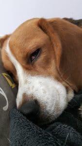 beagle fatigué apres s'etre enfui