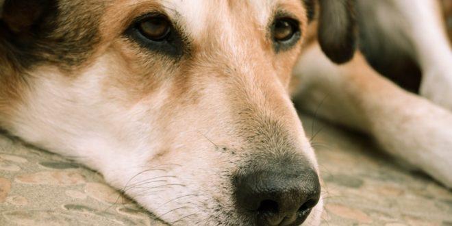 5 maladies fréquentes chez le chien : carré, rage, hépatite, tétanos et parvovirose