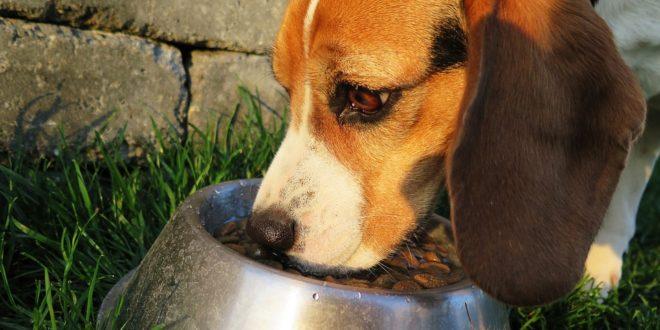Mon chien a mangé trop de croquettes : que faire?
