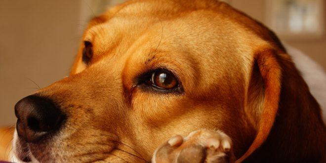 Une mutuelle santé adaptée pour Beagle
