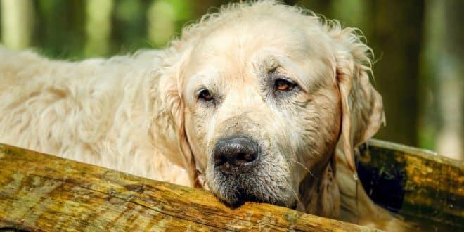 Mon chien vieillit : on vous en dit plus sur les signes de vieillesse