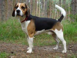 Connaissez vous le Beagle Harrier?