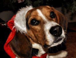 Noël avec votre beagle : le bandana pour chien, un cadeau original