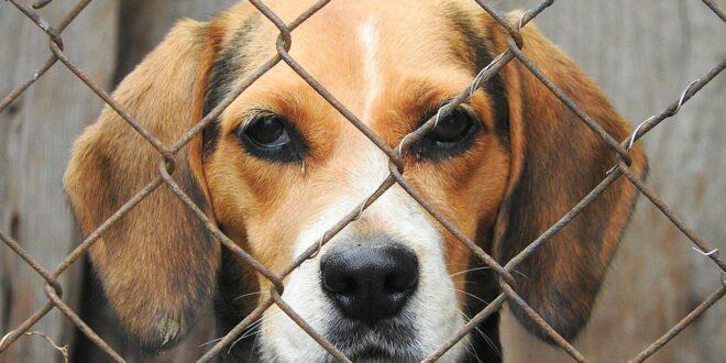 Quel chenil pour un Beagle ?